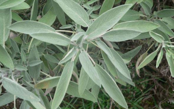 Trei plante cu efecte antibiotice