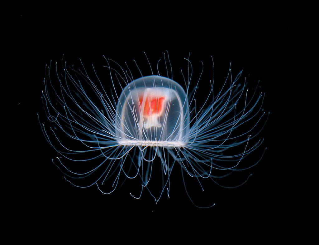meduza-turritopsis