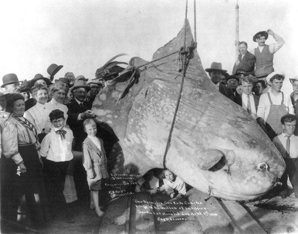 Oameni pozând cu un pește enorm de 1.587 tone, 1910