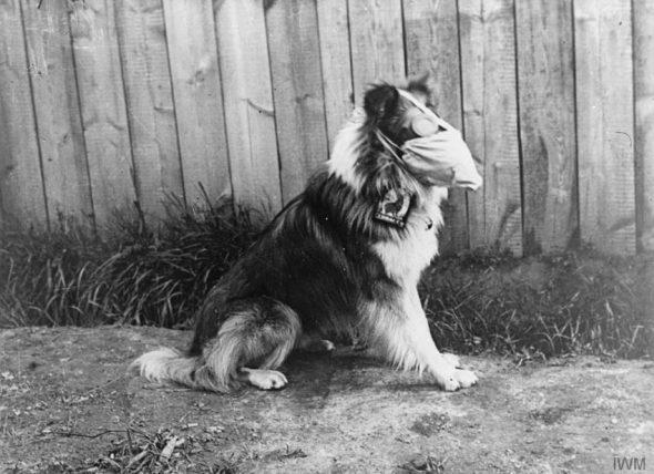 Câine care poartă o mască de gaze și ochelari de protecție anti-gaz, Roesbrugge, Belgia – 05.16.1916