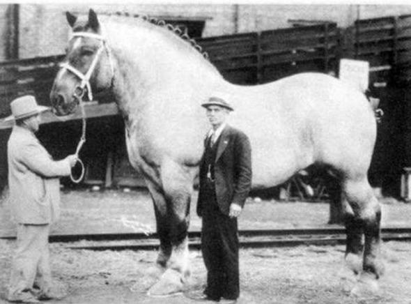 Cel mai mare cal din lume, 1928